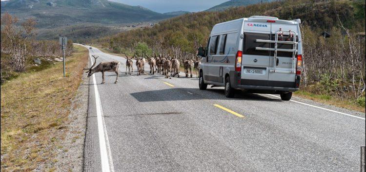 Шведи будують мости для оленів